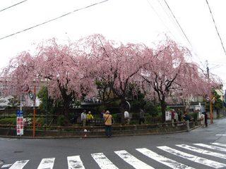 sahosakura.jpg